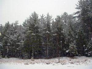 snowpines2.jpg