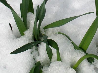 snowplants