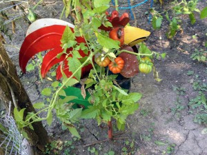 hickentomatoes