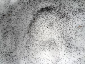 snowfleas