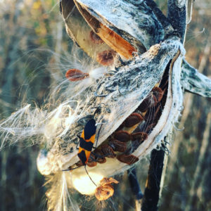 milkweedbug